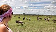 Safari group viewing wildebeest pack