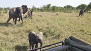 Elephants playing around tour truck