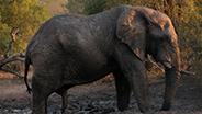 Elephant in mud