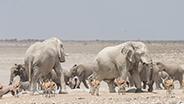 Herd of Namibia elephants