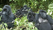 Mountain gorillas in the forest