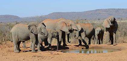 Elephants in a group