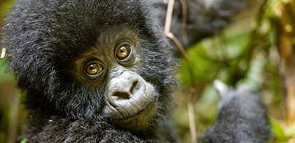 Baby gorilla close-up